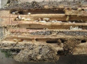 Termites: nouvel arrêté préfectoral en Indre-et-Loire