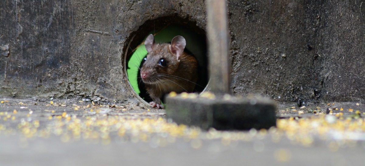 La petite souris peut-elle être une cause de non-décence?