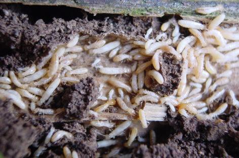 Termites: informés de l'infestation, les acquéreurs réclament quand même l'annulation de la vente